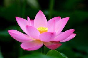 Tuyển tập những hình ảnh bông hoa sen đẹp