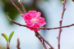 Những ảnh bìa facebook hoa đào đẹp không nên bỏ qua